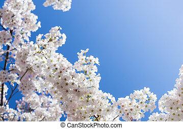 さくらんぼ, 白, 木, 花