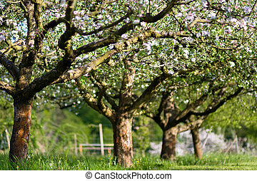 さくらんぼ, 花, ブランチ, 木