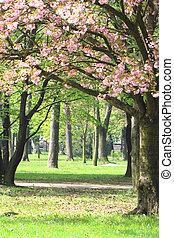 さくらんぼ, 花, 公園