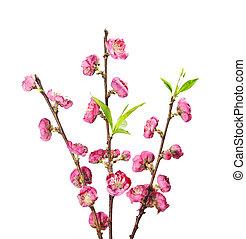 さくらんぼ, 花, 咲く