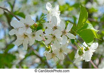 さくらんぼ, 花, 木