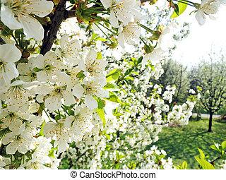 さくらんぼ, 花, 木, 庭