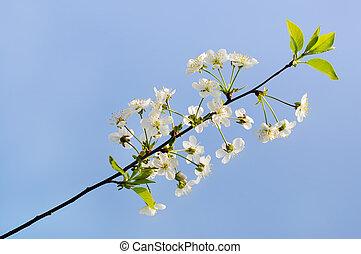 さくらんぼ, 花, 背景