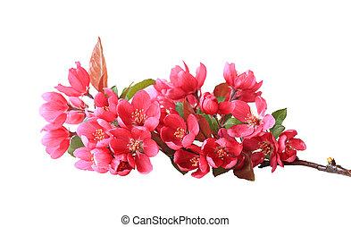 さくらんぼ, 花, 赤