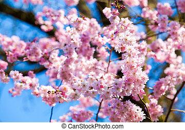 さくらんぼ, 花, sakura, 花