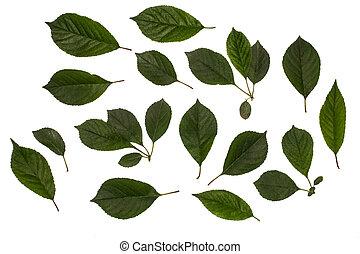 さくらんぼ, 葉, 若い, 隔離された, 背景, 緑の白, herbology