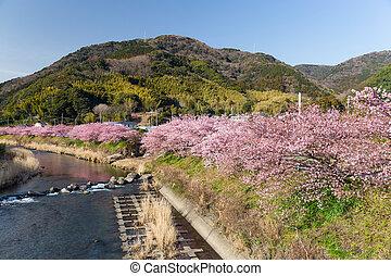 さくらんぼ, 静岡, 木, 日本, kawazu