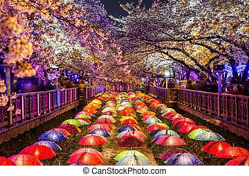 さくらんぼ, busan, 花, 夜, korea., 南
