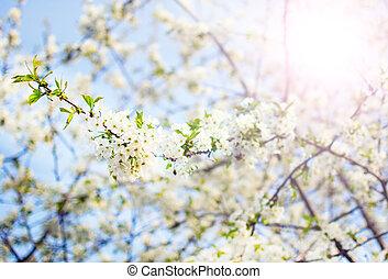 さくらんぼ, flowering 木