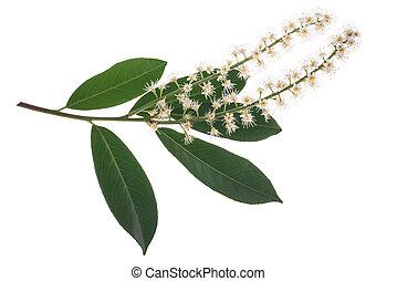 ), さくらんぼ, laurocerasus, (prunus, 月桂樹