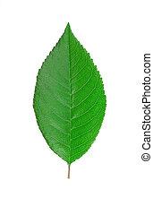 さくらんぼ, leaf.
