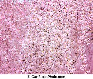 さくらんぼ, sakura