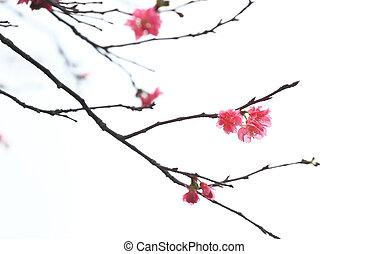 さくらんぼ, sakura, 花, 日本語