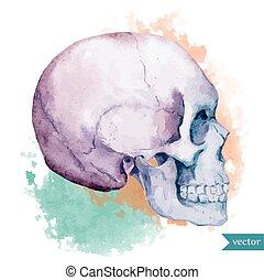 すてきである, 頭骨