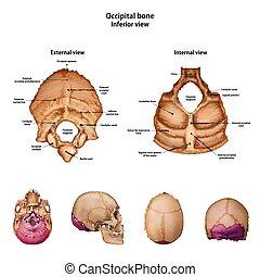 すべて, bone., 記述, occipital, sites., 名前