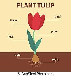 そっくりそのまま, 案, 植物, 提示, 図, 教育, -, ベクトル, 茎, 葉, infographic, 農業, 部分, 生物学, チューリップ, 定着する, 花, 電球, システム, ラベル