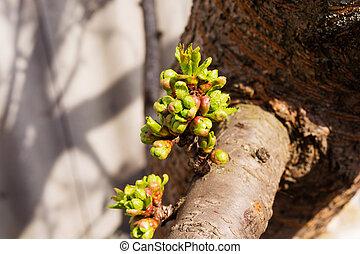 つぼみ, 桜の木
