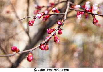 つぼみ, 開始, 花, 桜の木, 春