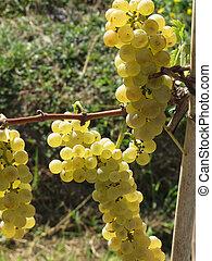 つる, 白, イタリア, トスカーナ, ブドウ