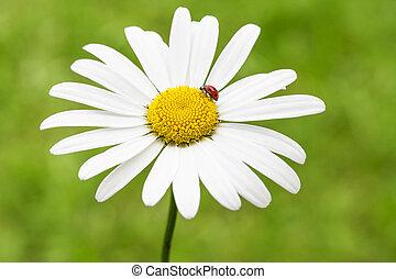 てんとう虫, マーガレット, 花弁, 共通, デイジー, ∥あるいは∥