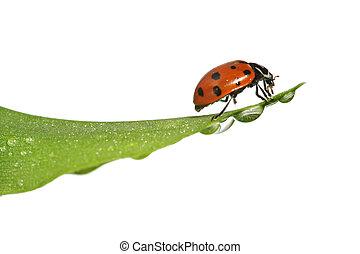 てんとう虫, 葉