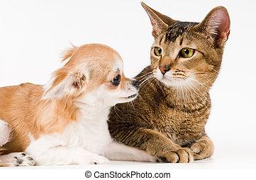 ねこ, chihuahua, 子犬