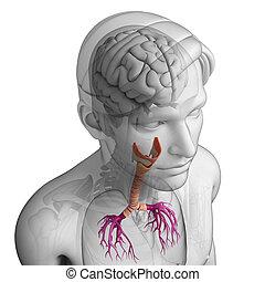 のど, 解剖学, マレ
