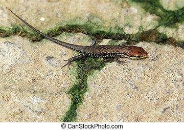 は虫類, 庭, イメージ,  (scincidae), 床, 共通, 動物,  skink