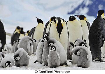 ひよこ, 皇帝, ペンギン