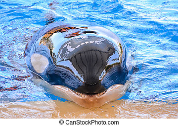 ほ乳類, クジラ, キラー魚, orca