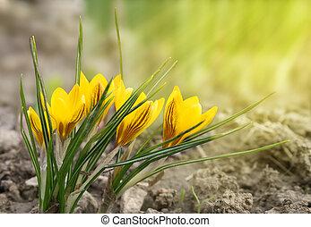 ぼんやりさせられた, 日光, クロッカス, 黄色の背景, 花