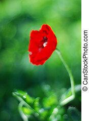 ぼんやりさせられた, bokeh, 緑の背景, ケシ, 花, 赤