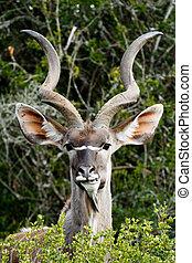 より大きい, -, こする, tragelaphus strepsiceros, 歯, kudu, あなたの
