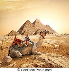 らくだ, ピラミッド