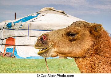 らくだ, yurt, mongolia, &