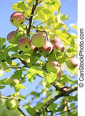 りんご, 有機体である, 新たに