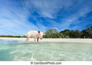わずかしか, 子豚, 上に, exuma, 島