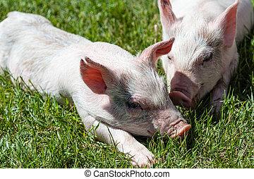 わずかしか, 子豚, 休息, 草