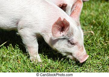 わずかしか, 子豚, 供給, 上に, 草