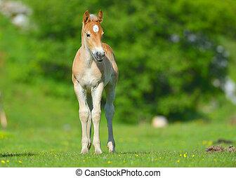 わずかしか, 子馬, 中に, ∥, 牧草地