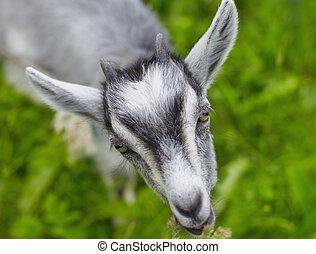 わずかしか, goat