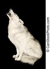 わめく, 上に, 狼, 隔離された, 黒
