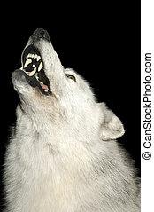 わめく, 狼