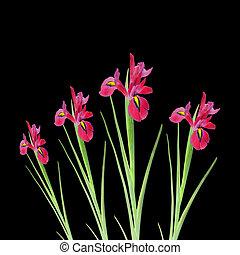 アイリス, 花, 赤, 美しさ