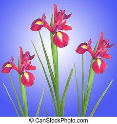 アイリス, 花, splendour