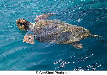 アオウミガメカメ, 海