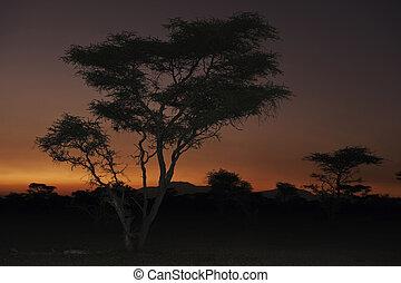 アカシアの木, sunset.