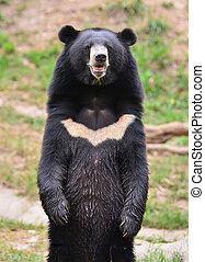 アジア, 黒熊