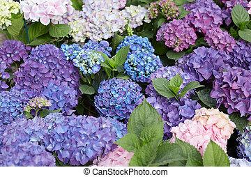 アジサイ, 花, 背景