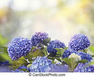 アジサイ, 花, 青